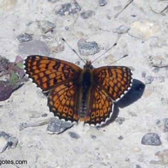 Doncella punteada (Melitaea cinxia)